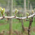 Crawford Beck Vineyard - Spring buds emerge - 2012