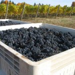 Crawford Beck Vineyard - Pinot Noir harvest