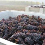 Crawford Beck Vineyard - Pinot Gris harvest