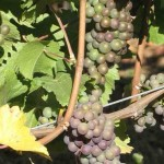 Véraison in the Pinot Gris
